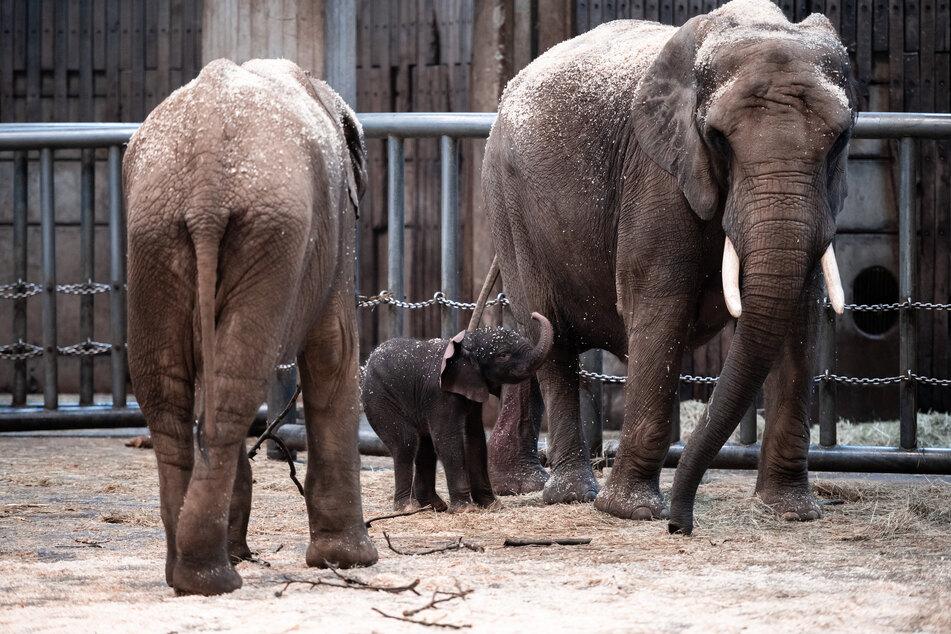 """Elefantenjunge """"Tsavo"""" steht mit Mutter """"Sweni"""" im Gehege im Zoo. In freier Wildbahn werden die Tiere wegen ihres Elfenbeins gejagt, ihre Lebensräume durch den Menschen eingeschränkt."""