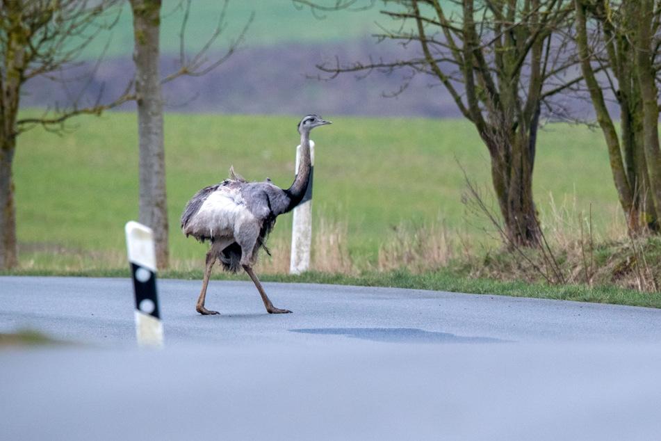 Auch die Nandus im Westen Mecklenburg-Vorpommerns sind eine invasive Art. (Archivbild)