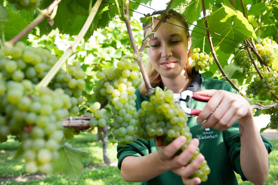 In Sachsen beginnt die Weinlese: Erste Traubenernte am Schloss Wackerbarth