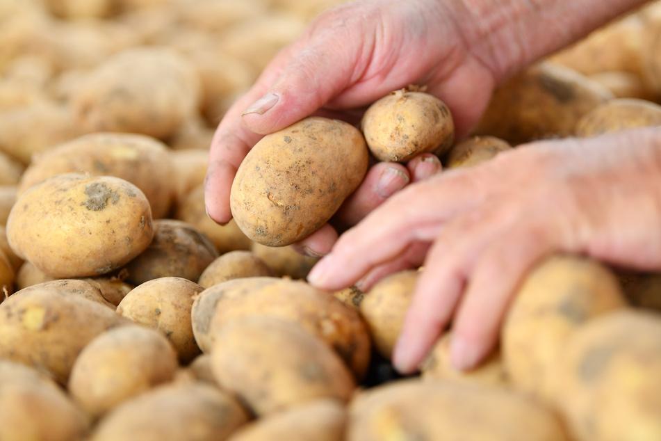Hände greifen beim Erntebeginn nach Kartoffeln der Sorte Annabelle.