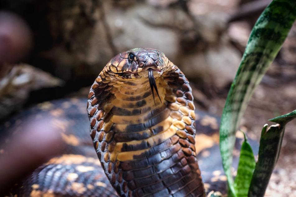 Auch eine Kobra befand sich in der abgestellten Box. (Symbolbild)