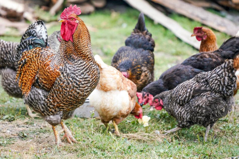Hühner und anderes Federvieh dürfen in Hamburg ab Freitag nicht mehr frei herumlaufen. (Symbolbild)