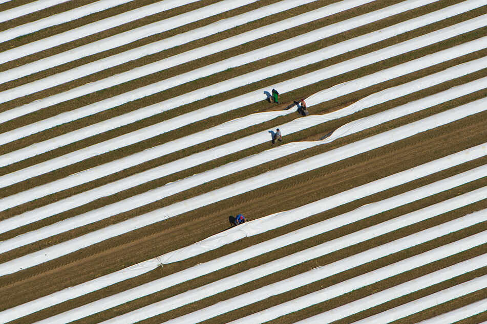 Erntehelfer arbeiten auf einem Spargelfeld.