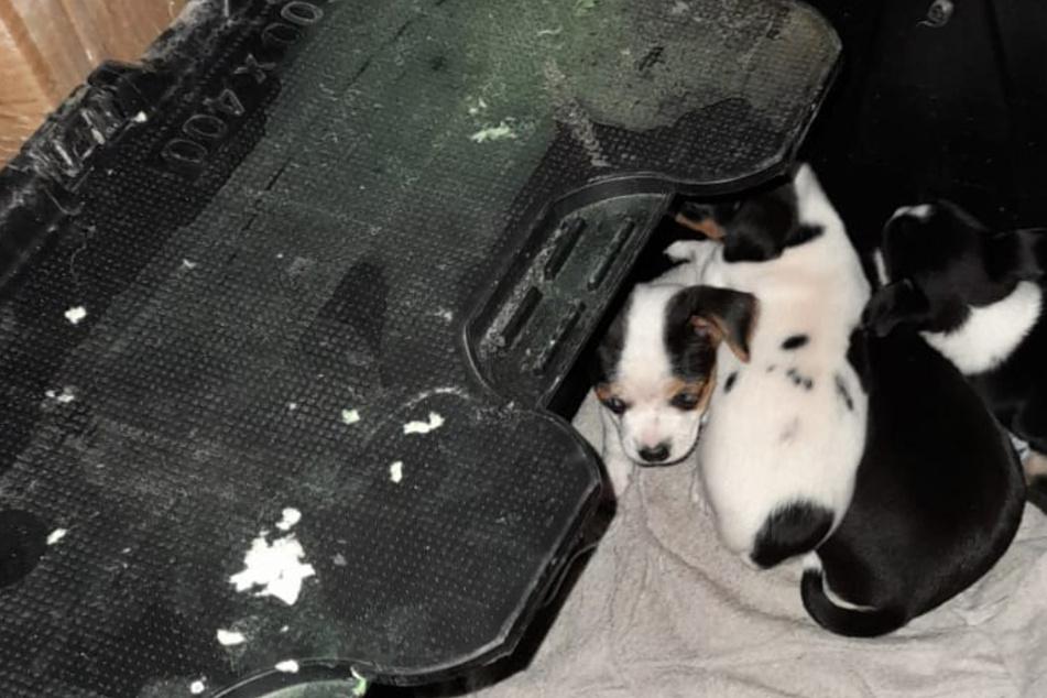 Hundewelpen vor grausamen Schmugglern gerettet, Tierschützer sind schockiert