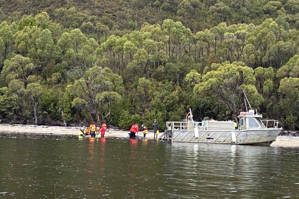 Nach Massenstrandung: So viele Wale konnten gerettet werden!