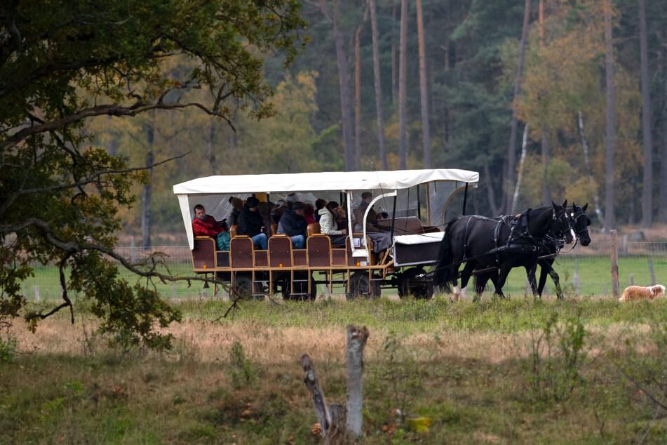 Eine Kutsche mit Fahrgästen fährt durch die Lüneburger Heide. (Symbolbild)