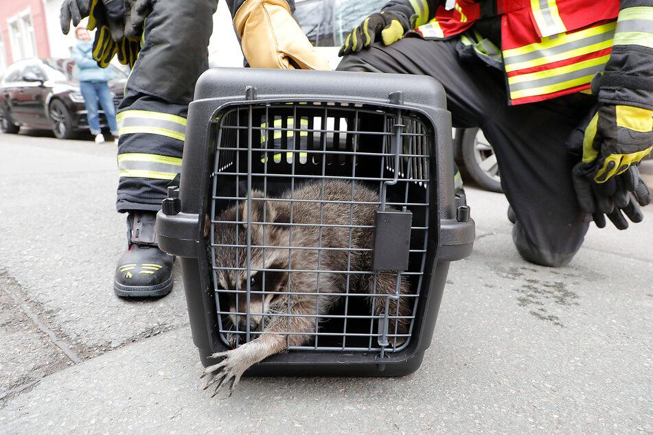 Waschbär gerettet: Feuerwehrleuten gelang es, das Tier vom Baum zu holen.