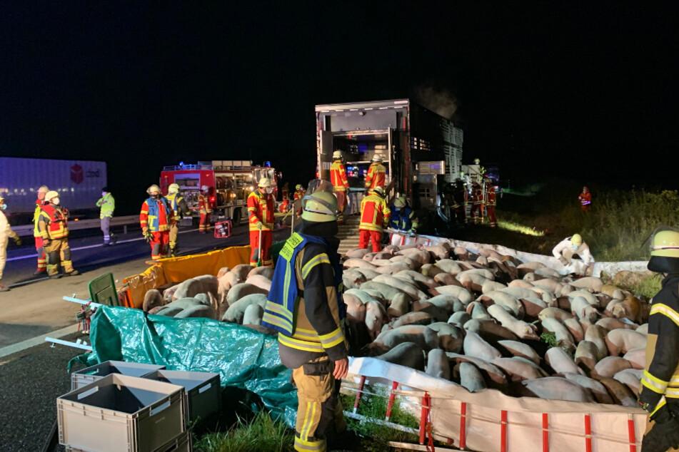 Auf einem angrenzenden Feld errichtete die Feuerwehr eine provisorische Koppel. Ein neuer Transporter holte die Schweine später ab.
