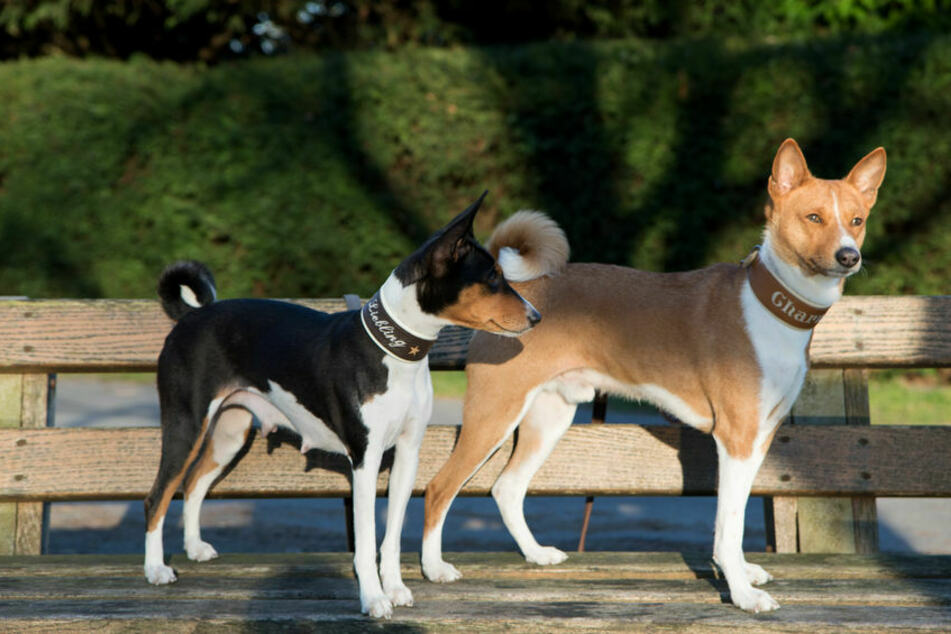 These dogs don't bark, but Basenjis have other ways of expressing themselves (stock image).
