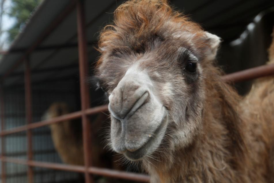 In Niederbayern löste ein Kamel einen Polizeieinsatz aus. (Symbolbild)