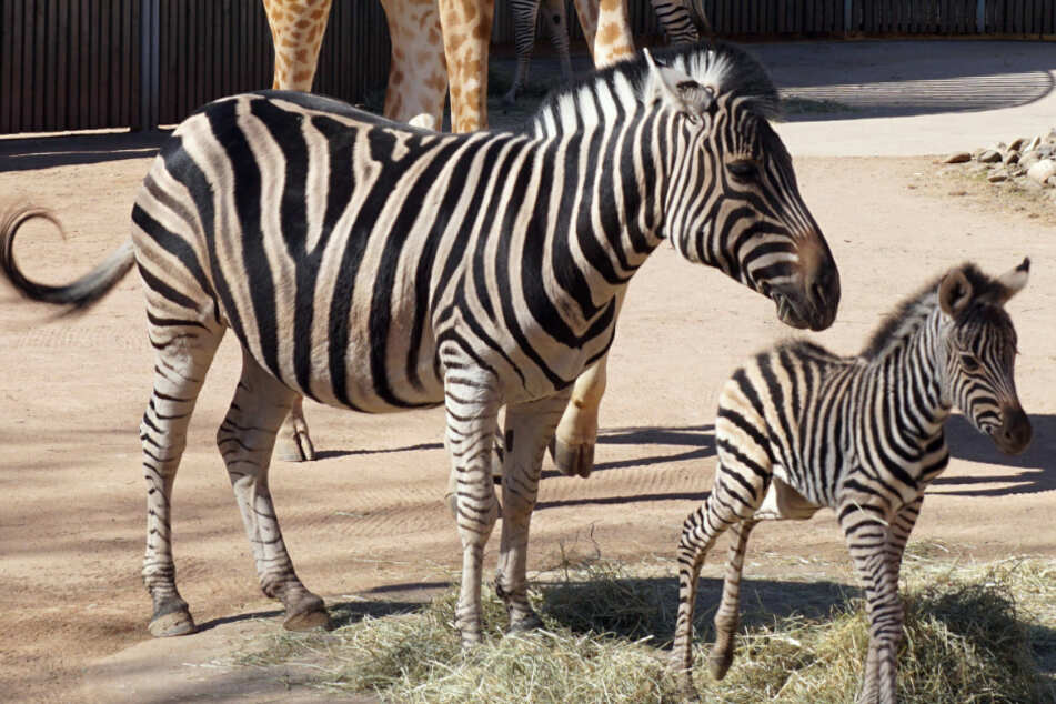 Streifen-Wahnsinn im Dresdner Zoo