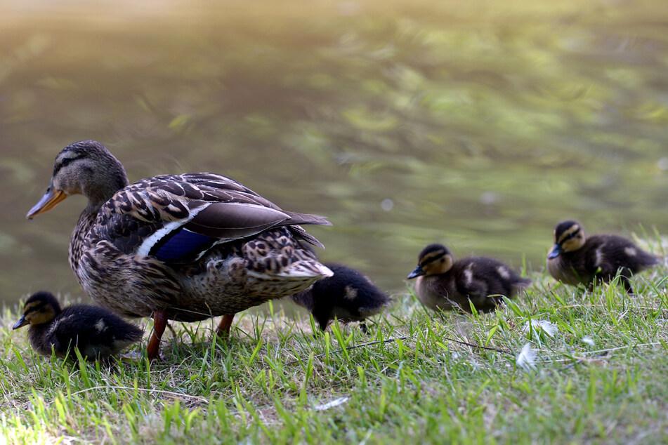Die Unbekannten hatten zwei der kleinen Enten getötet. (Symbolbild)