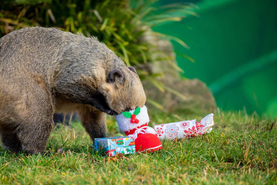 Ein Nasenbär schaut sich im Erlebnis-Zoo Hannover neugierig einen Nikolausstiefel an, in dem sich Futter befindet.