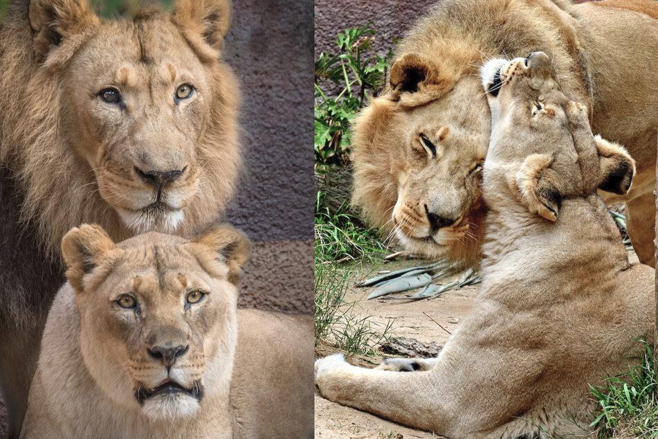 Darum musste dieses Löwen-Pärchen im US-Zoo sterben