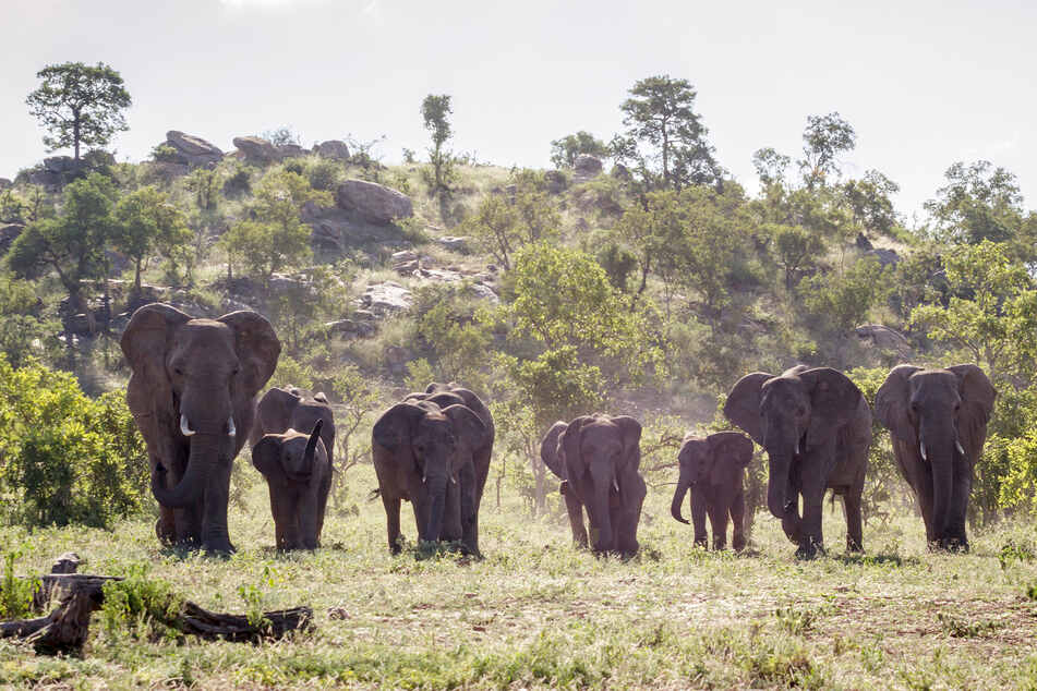 The suspected poacher in Kruger National Park did not survive the encounter with a horde of elephants (stock image).
