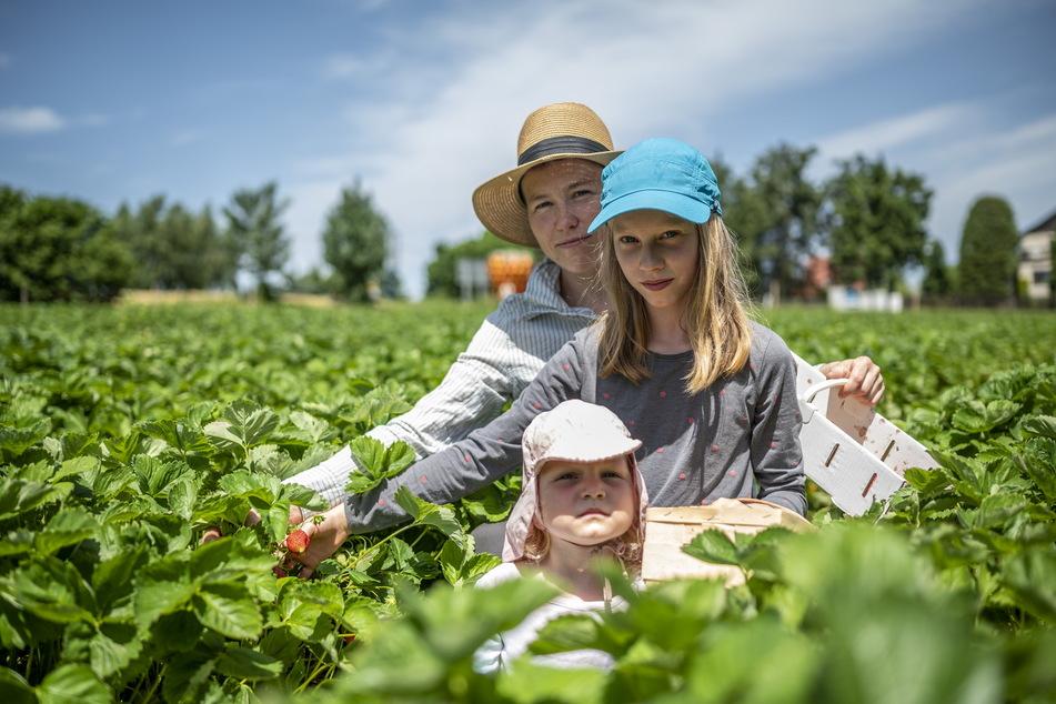 Mutter Kronelia Krasselt (43) füllte am Montag mit ihren beiden Töchtern die Körbchen mit leckeren Erdbeeren.