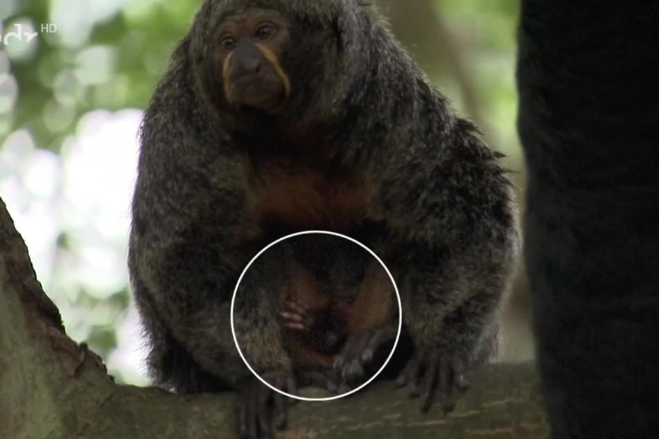 Da musste der MDR sogar nachhelfen, um zumindest etwas zu erkennen. Das Weißkopfsaki-Baby ist so gut versteckt, dass sich selbst mit Markierung nur ein Händchen erblicken lässt.