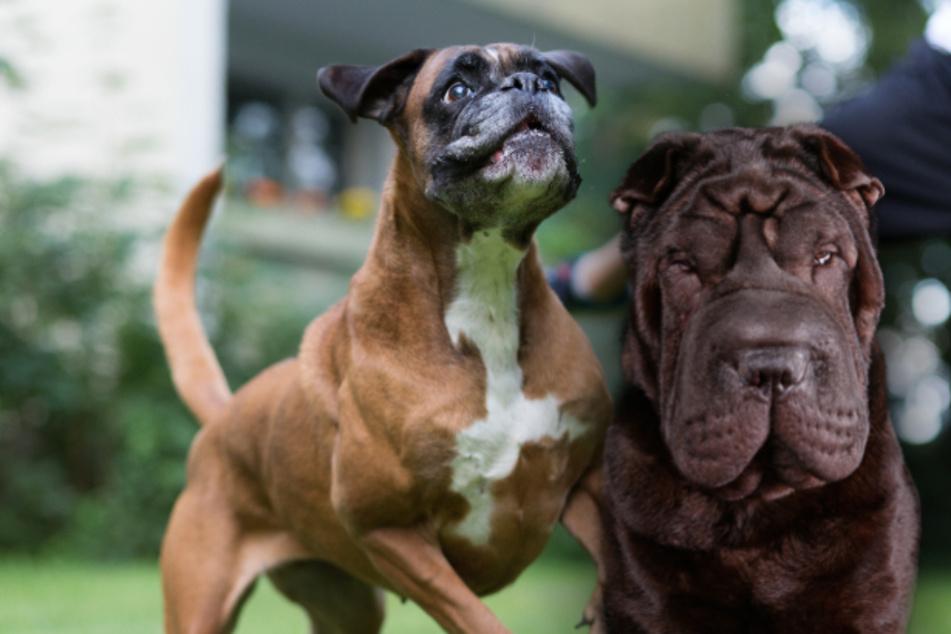 Hunde reißen sich los und greifen an: Frau nach Beiß-Attacke schwer verletzt