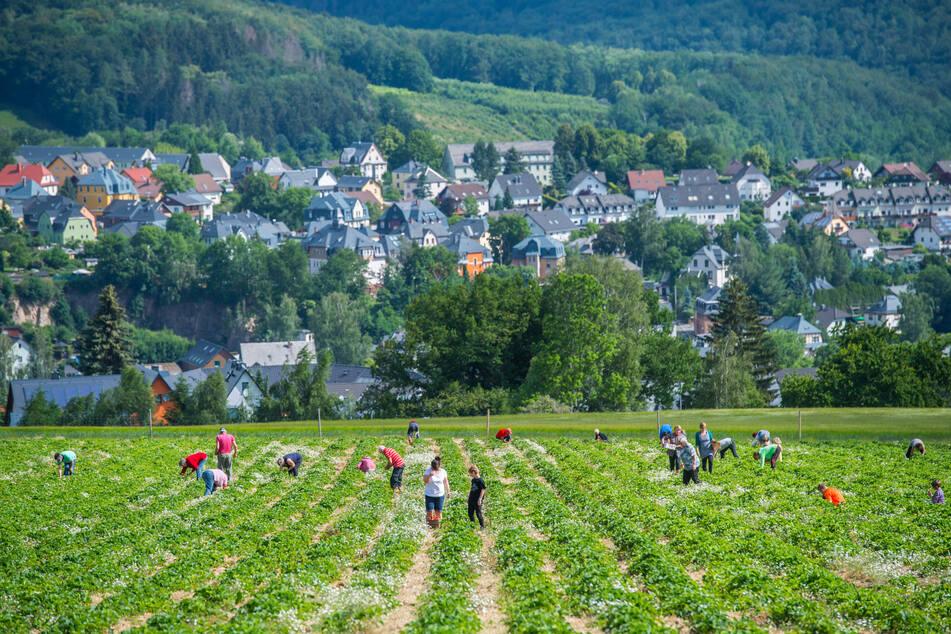 Das Feld in Lauter-Bernsbach liegt an einem Nordhang. Hier wachsen die Erdbeeren langsamer, nur bis 12.30 Uhr können die Vitamin-Bomben gepflückt werden.