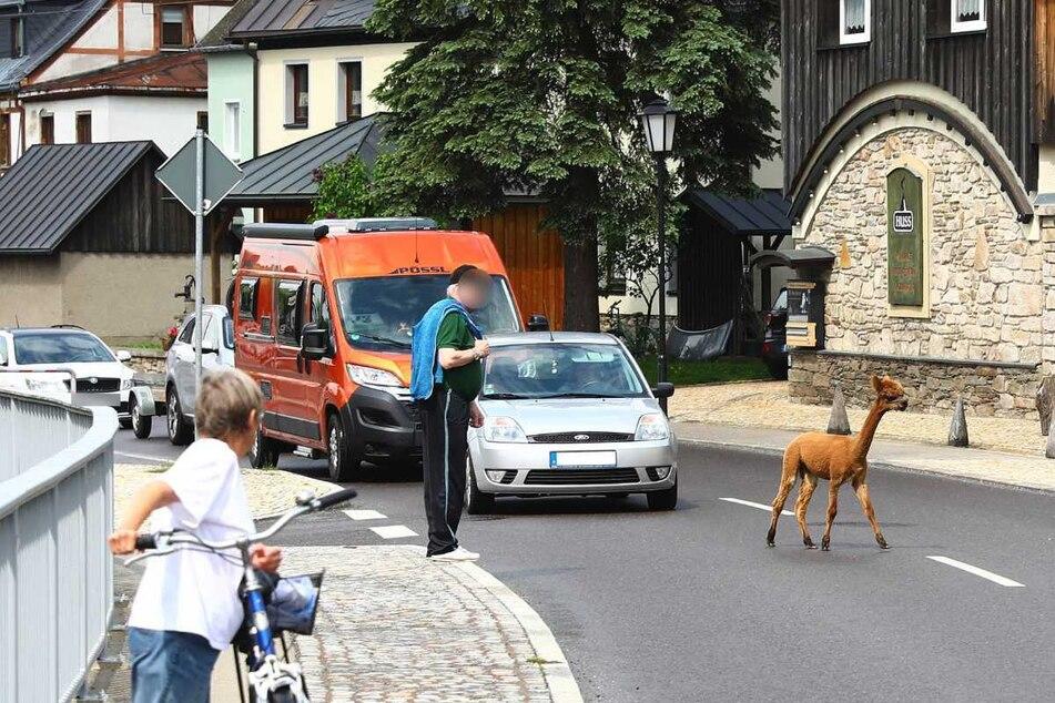 Erzgebirge: Was macht dieses Alpaka mitten auf der Straße?