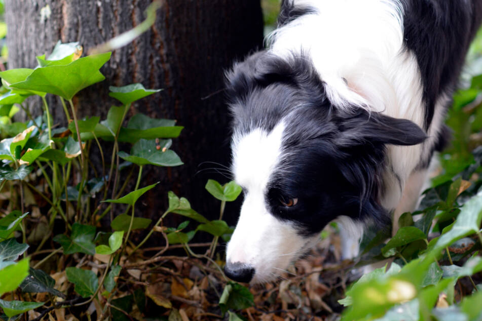 Gift und Rasierklingen: Leben Hunde in Deutschland heute gefährlicher?