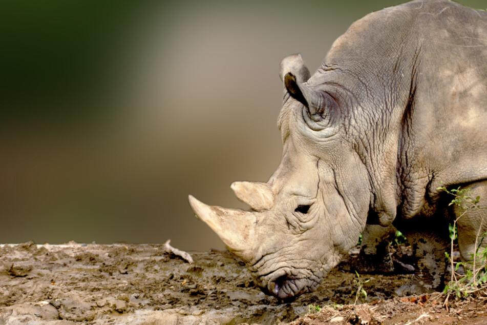 Nahezu ausgestorben: Von dieser Tierart gibt es nur noch zwei lebende Exemplare!