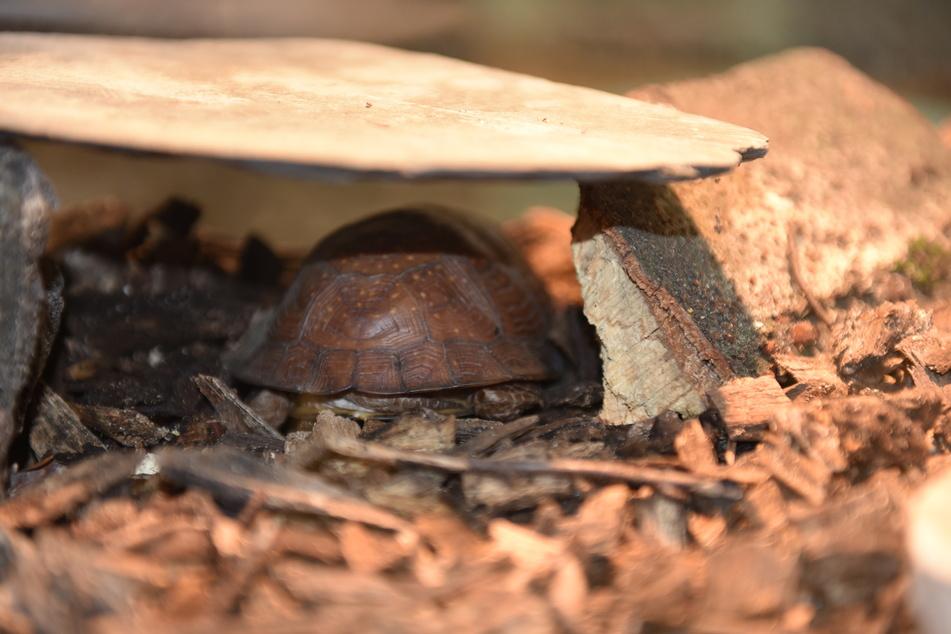 Der Zoll hat eine Dosenschildkröte aus einer Stoffpuppe befreit.