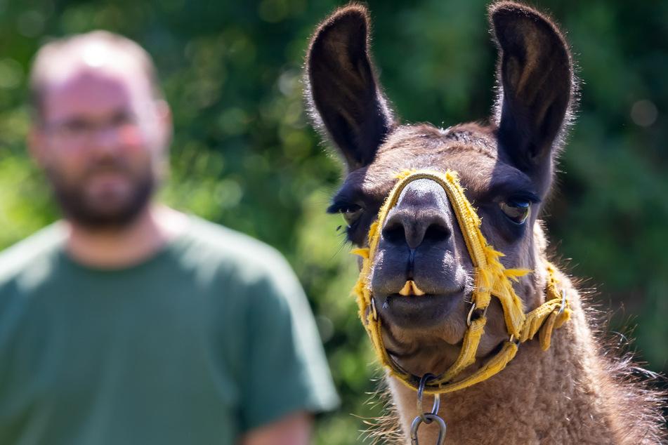 Da schauste! Lamas sind pflegeleichte Tiere - und bei der Grünzeug-Wahl nicht allzu wählerisch.