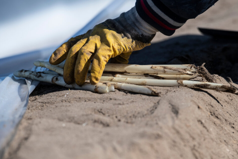 Ein Saisonarbeiter erntet auf einem Feld unweit von Kremmen (Brandenburg) den ersten Spargel für den Spargelhof Kremmen.