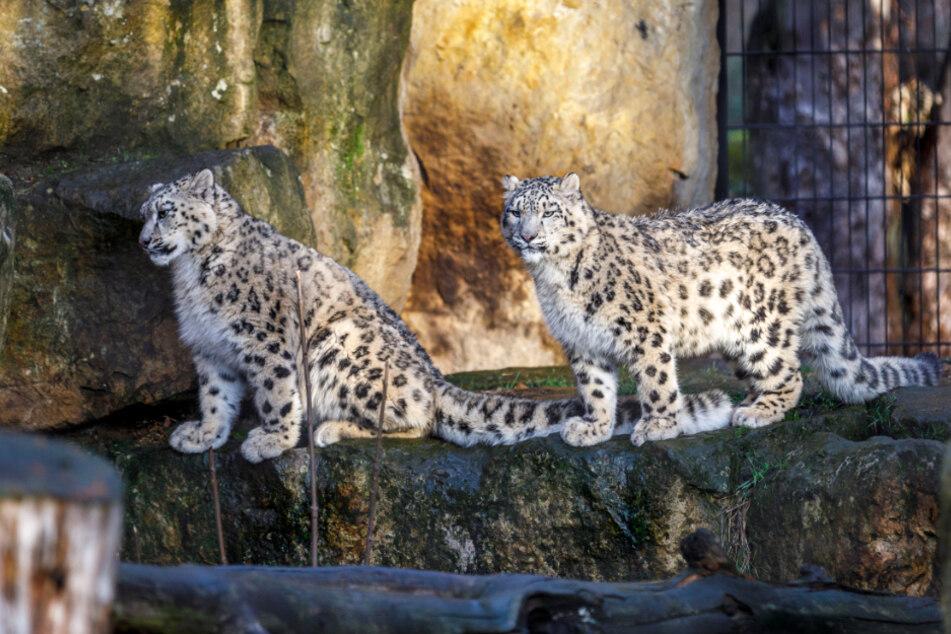 Schneeleoparden: Sex-Verbot im Zoo