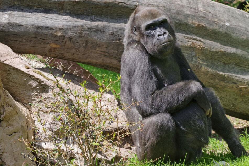 Gorilla-Weibchen Lena ist eingeschläfert worden. (Archivbild)