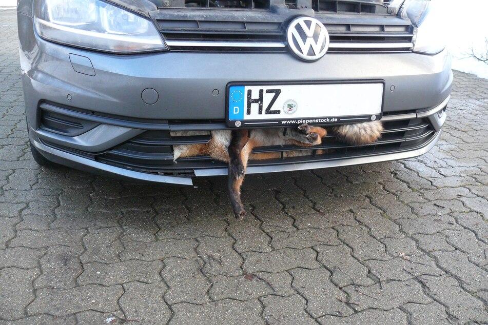 Fuchs wird von Autos erfasst und landet im Kühlergrill
