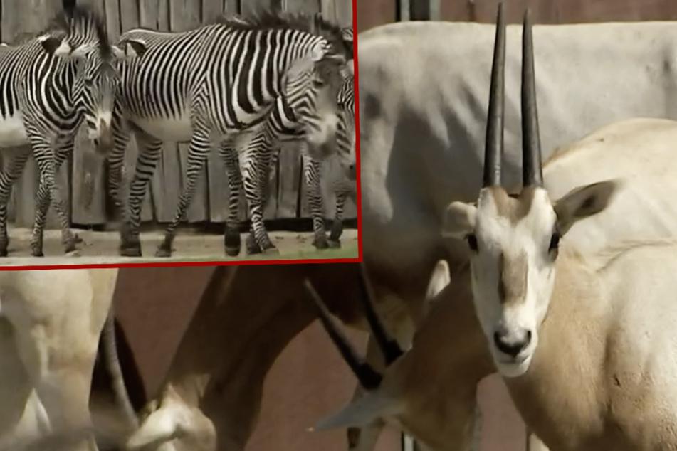 Zoo Leipzig: Zebras jagen Antilopen-Jungtier in den Tod