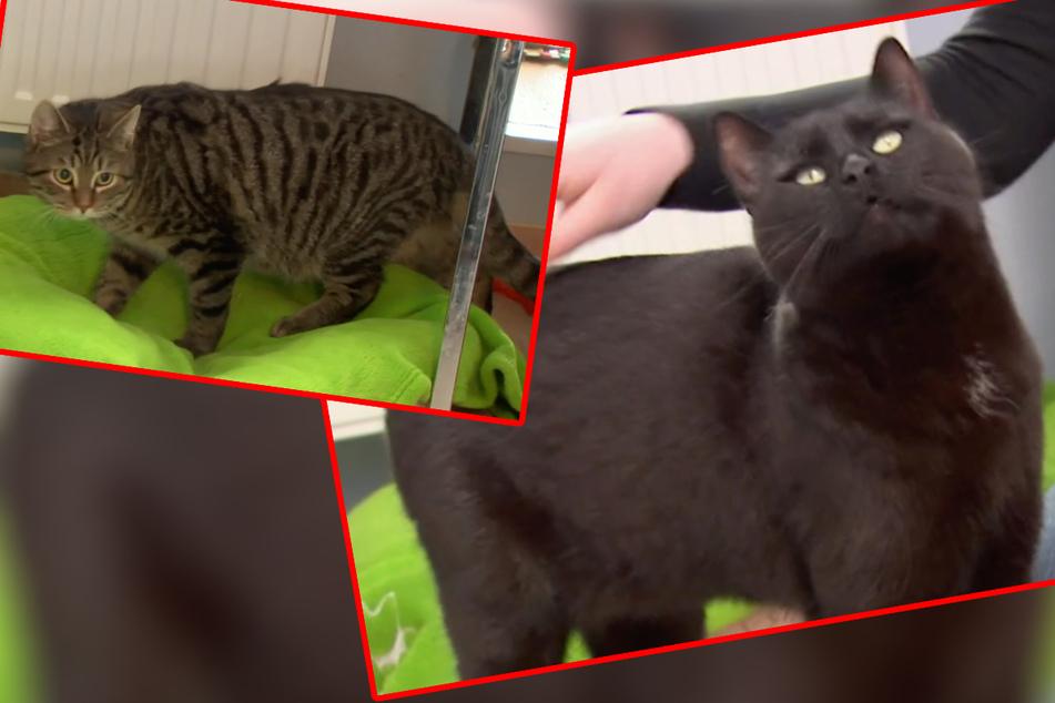 """Das intergalaktische Katzenpaar Uhura (rechts) und Pille wurde ebenfalls bei """"Tierisch tierisch"""" vorgestellt. Die beiden würden das Tierheim Stendal gern verlassen, um gemeinsam neue Abenteuer zu bestreiten."""