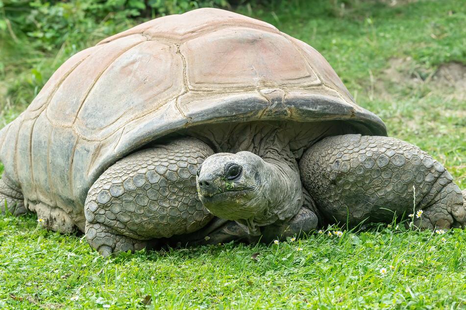 Die Seychellen-Riesenschildkröte Schurli verstarb am Sonntag.