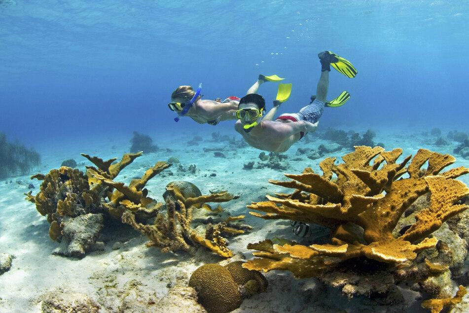 Curaçaos Küsten sind ein Fest für Unterwasserfans: Schnorchler im Korallenriff mit Elchgeweihkorallen.