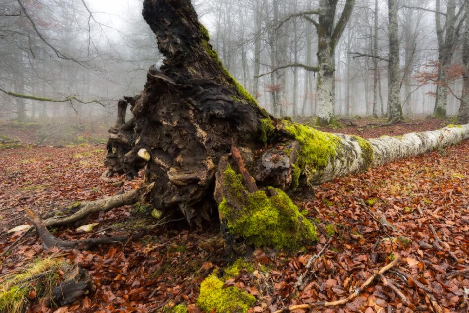 Ein 40-jähriger Familienvater wurde von einem Baum erschlagen. (Symbolbild)