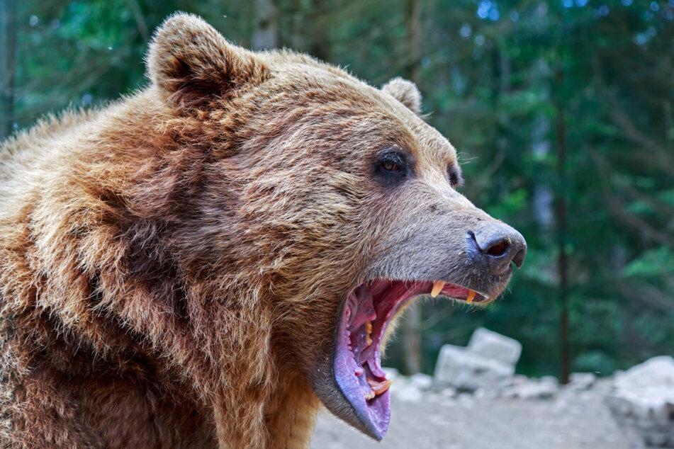 Schon wieder hat ein Bär im russischen Naturpark Jegarki einen Menschen getötet. (Symbolbild)