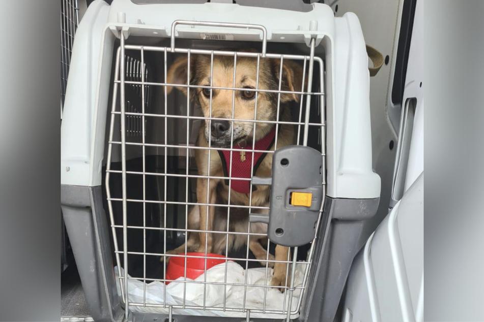 Einer der Hunde in einer zu kleinen Transportbox.