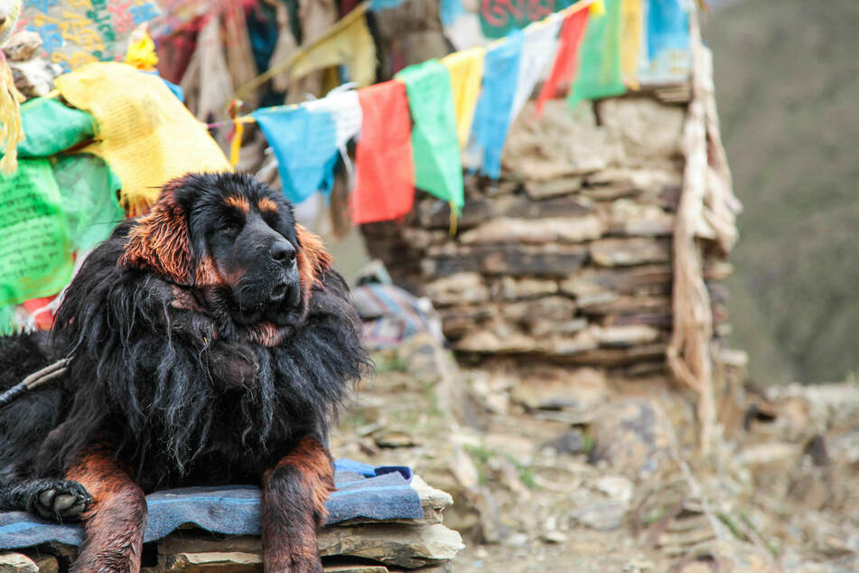The Tibetan Mastiff was mainly used to protect villages and livestock.