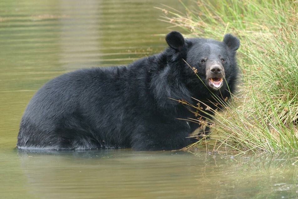 The collar bear, or Formosan black bear, is native to Asia and is related to the American black bear.