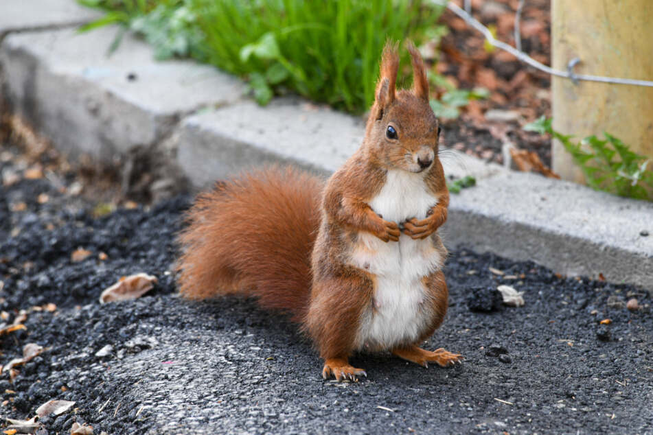 The future of the red squirrel in Britain is not rosy.