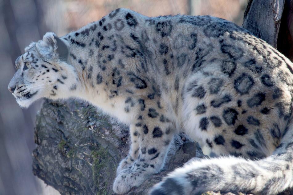 Auch Schneeleoparden können per Webcam beobachtet werden.