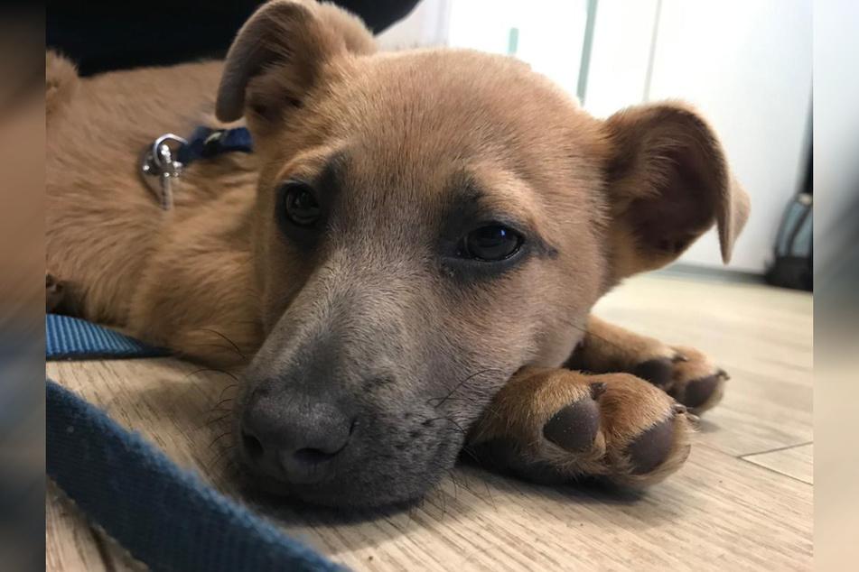 Dieser süße Hundewelpe sollten für 150 Euro verkauft werden.