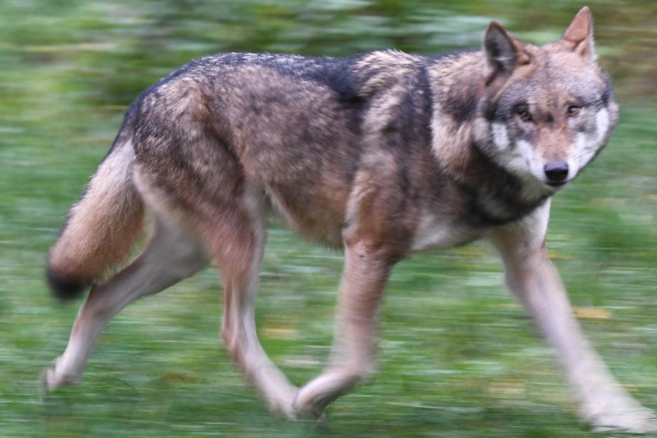 Wölfe: Jetzt steht fest: In Hessen sesshafter Wolf hat zwei Kälber getötet
