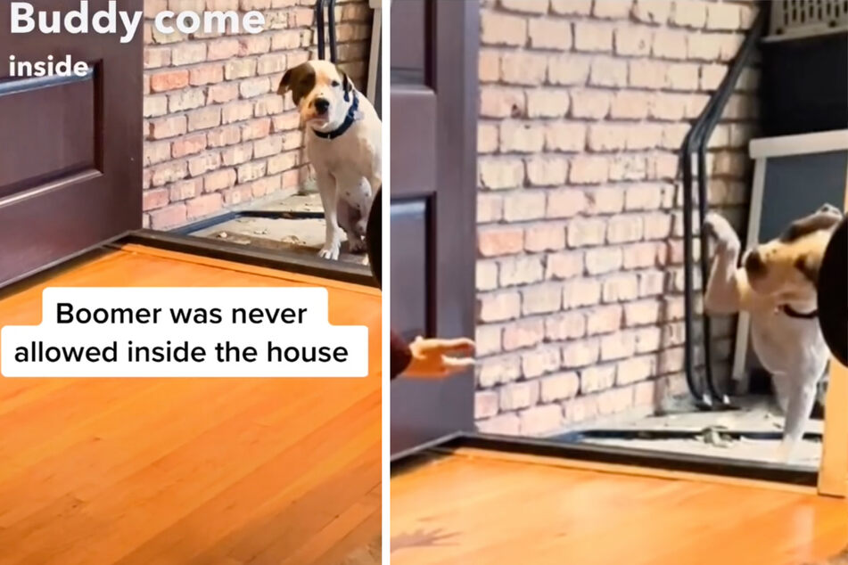 Stray dog is afraid to enter his new home when opportunity comes knocking