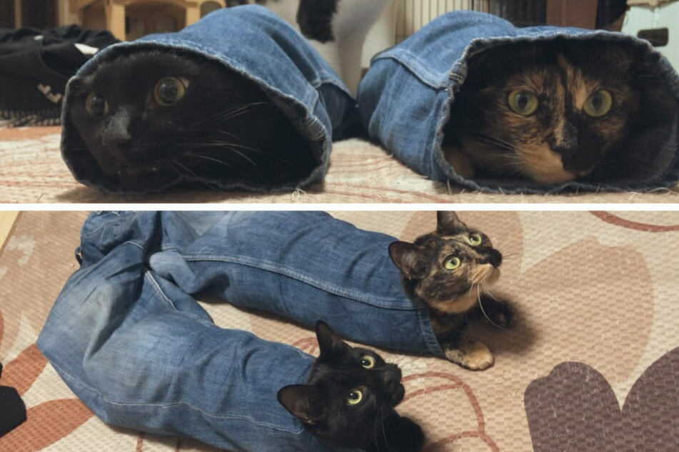 The two cats made themselves at home in a pair of jeans (collage).