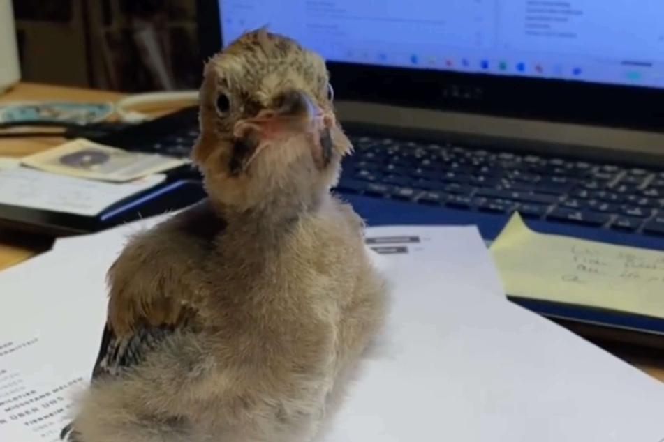"""Jungvogel """"Herbert"""" begeisterte die Instagram-Fans mit seinem vorübergehenden Job als Bürokraft."""