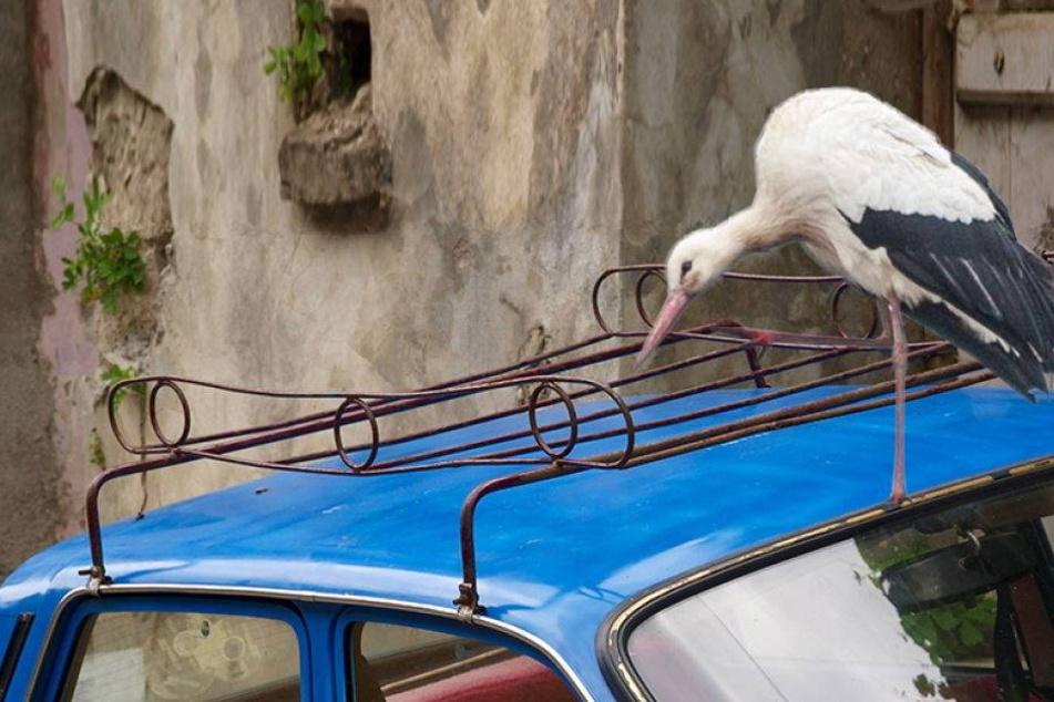 Liebestoller Problem-Storch nervt ganzes Dorf