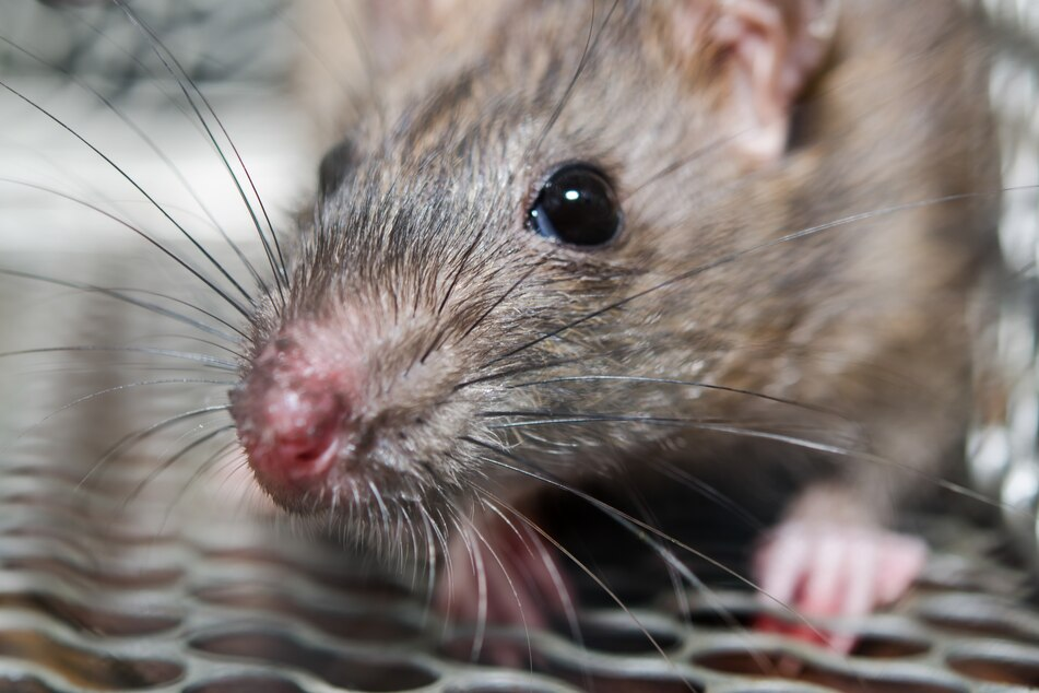 Manhattan Chipotle taken over by rats hungry for avocados and humans